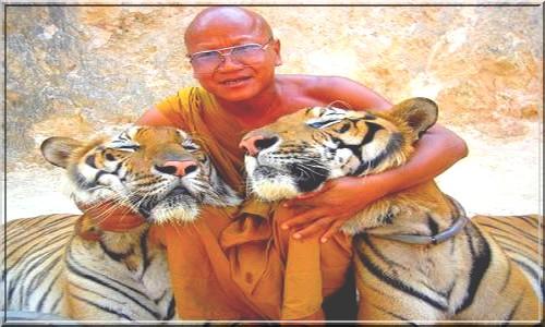 Ручные тигры в монастыре