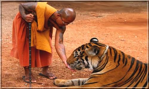 Тигры в буддийском монастыре
