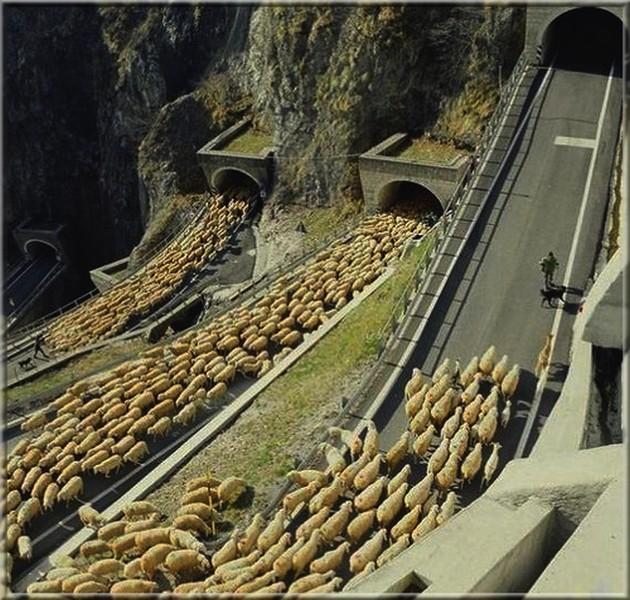 Пастух Луиджи ведет баранов