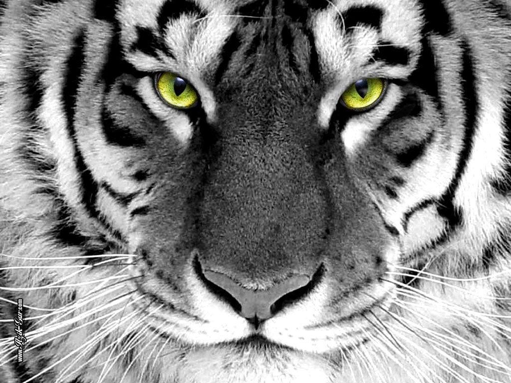 tigra2